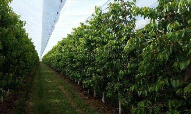 Soluciones Arrigoni para el agrietamiento y plagas en cultivo de cerezo