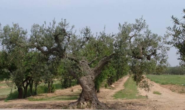 Cultivo del olivo: identifican trece nuevas variedades
