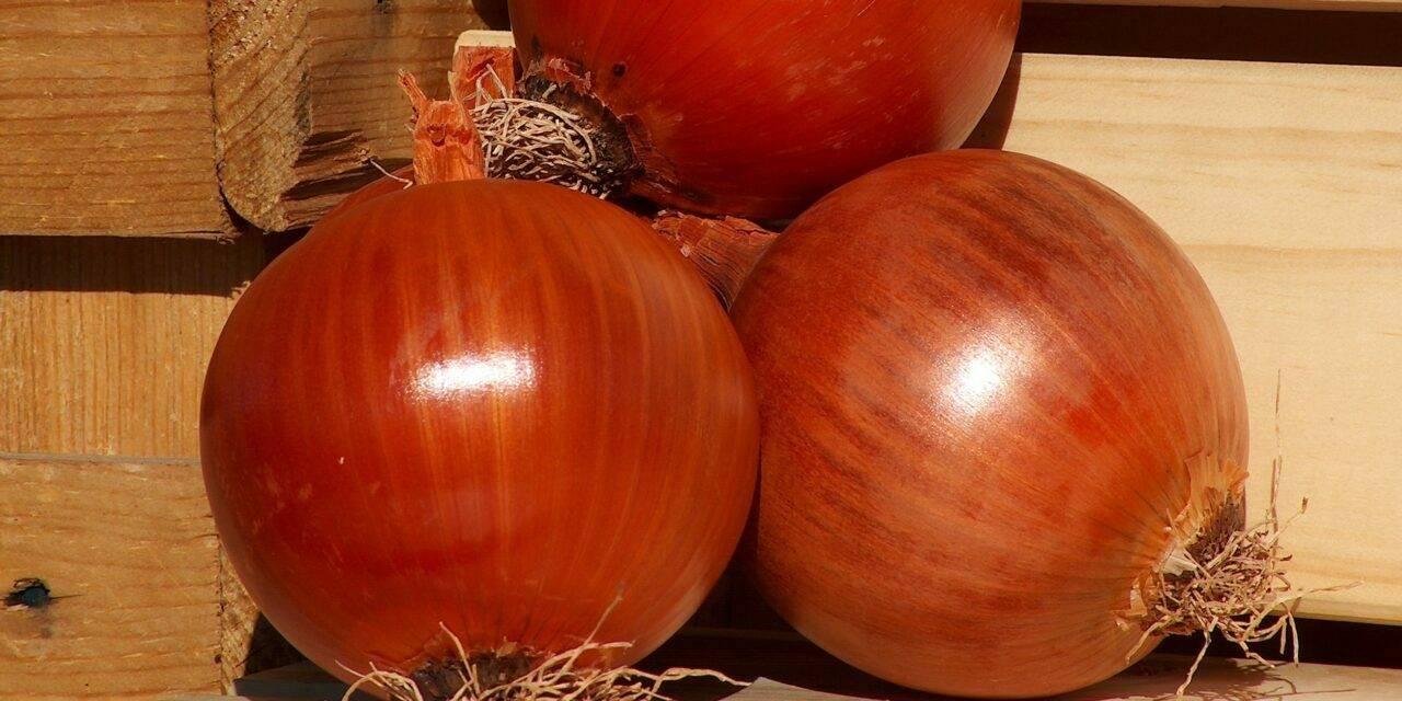 Cultivo de cebolla: cuando la conservación es lo importante