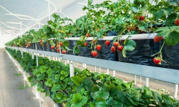 El cultivo de fresa, fresón o frutilla