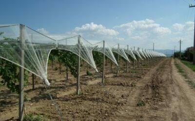 Uva de mesa, las soluciones de Arrigoni para una protección completa