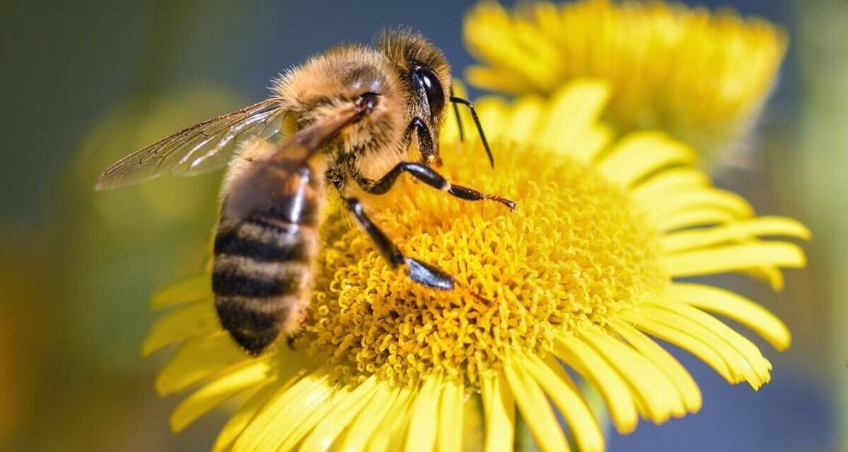 Neonicotinoids is harmful to bees even when applied well below the label rate