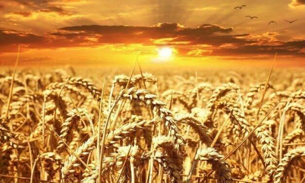 Fertilización pre-siembra en cereales: ¿por qué utilizar productos ecológicos?