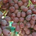Beyond the Vine: Breeding Better Grapes