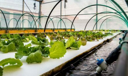 Salicornia y lechugas cultivadas en tanques con peces, un modelo de bioeconomía circular