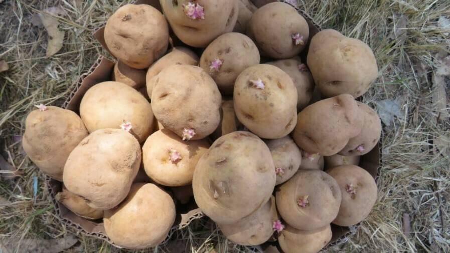 CIP-Matilde, la nueva variedad de patata resistente al cambio climático