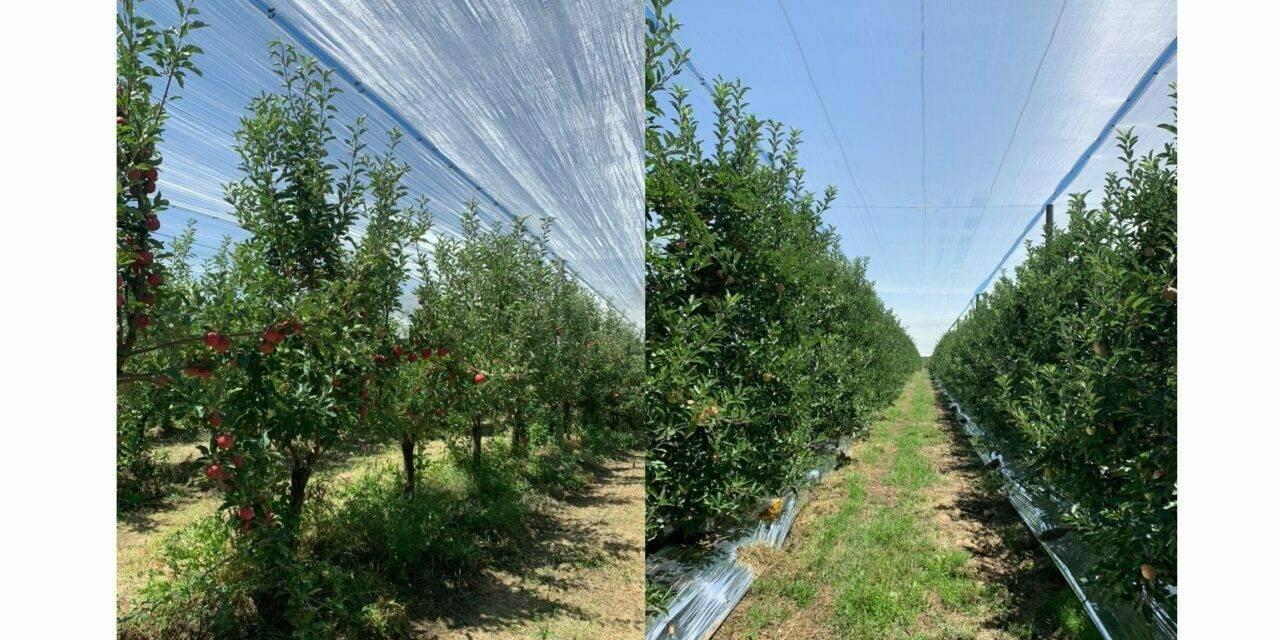 AGRICOLOR AGS, nueva solución ante el daño por golpes de sol en manzanos